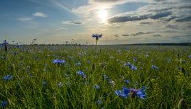 Campo de acianos florecientes, de las flores azules de acianos en el fondo del cielo azul y del sol de igualación de determinació imagenes de archivo