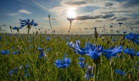 Campo de acianos florecientes, de las flores azules de acianos en el fondo del cielo azul y del sol de igualación de determinació imagen de archivo libre de regalías
