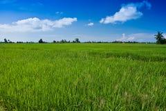 Campo de almofada com contudo para amadurecer a grão e o céu azul Fotos de Stock
