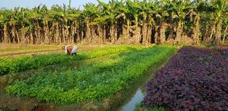 Campo de almofada com a planta vermelha e verde do palka fotografia de stock