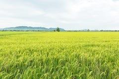 Campo de almofada cultivado na província de Kanchanaburi, Tailândia Imagem de Stock