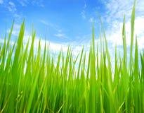 Campo de almofada do arroz Fotografia de Stock Royalty Free