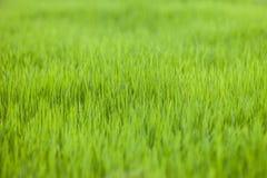 Campo de almofada do arroz da exploração agrícola Fotos de Stock