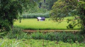 Campo de almofada do arroz no Kandy à viagem de trem de Ella - Sri Lanka fotos de stock royalty free