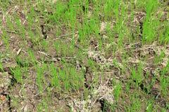 Campo de almofada ou campo do arroz imagens de stock royalty free