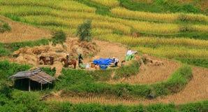 Campo de almofada a tempo da colheita Foto de Stock