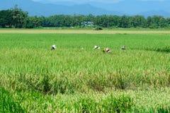Campo de almofada verde bonito do arroz Terraço do arroz Fotografia de Stock