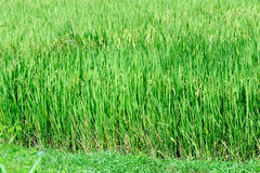 Campo de almofada verde bonito do arroz Terraço do arroz Imagens de Stock Royalty Free