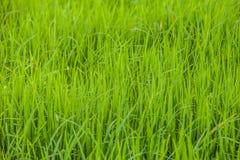 Campo de almofada verde do arroz fotografia de stock