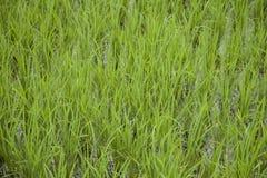 Campo de almofada verde velho de três meses Fotografia de Stock Royalty Free