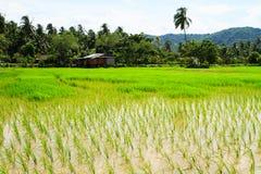 Campo de almofadas do arroz Foto de Stock