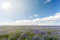 Campo de altramuces en Islandia Imagenes de archivo