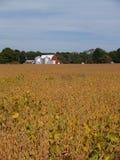 Campo de amadurecimento do feijão de soja na frente de um celeiro vermelho Imagens de Stock Royalty Free