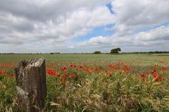 Campo de amapolas de Kent Foto de archivo