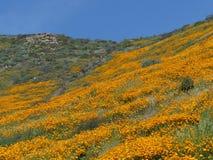 Campo de amapolas de oro Imagen de archivo