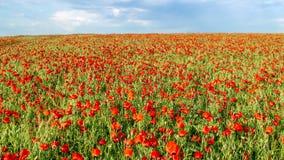 Campo de amapolas de florecimiento en mayo metrajes