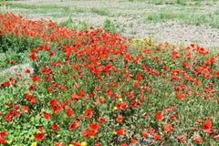 Campo de amapolas rojas Fotos de archivo libres de regalías