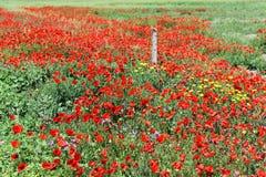 Campo de amapolas rojas Imagenes de archivo