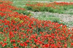 Campo de amapolas rojas Imágenes de archivo libres de regalías