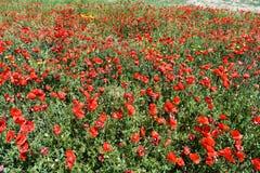 Campo de amapolas rojas Foto de archivo