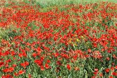 Campo de amapolas rojas Foto de archivo libre de regalías