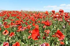 Campo de amapolas rojas Fotografía de archivo libre de regalías