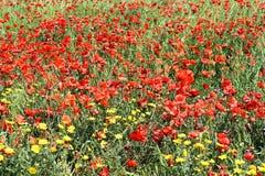 Campo de amapolas rojas Fotografía de archivo