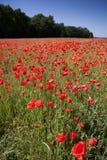 Campo de amapolas rojas con el cielo azul y el bosque en el fondo foto de archivo