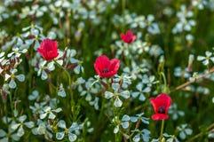 Campo de amapolas rojas en un día de verano Imagen de archivo