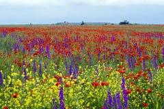 Campo de amapolas rojas florecientes Imágenes de archivo libres de regalías