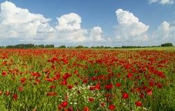 Campo de amapolas rojas salvajes Imágenes de archivo libres de regalías
