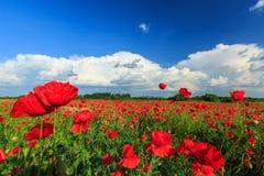 Campo de amapolas rojas salvajes Imagen de archivo