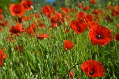 Campo de amapolas rojas salvajes Foto de archivo libre de regalías