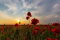 Campo de amapolas rojas salvajes foto de archivo