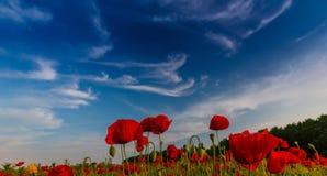 Campo de amapolas rojas salvajes fotografía de archivo