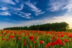 Campo de amapolas rojas salvajes fotografía de archivo libre de regalías