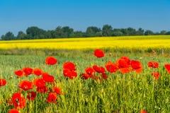Campo de amapolas salvajes rojas Fotografía de archivo