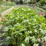 Campo de arbustos verdes da batata Imagens de Stock