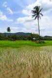 Campo de arroces de arroz Imagen de archivo libre de regalías