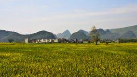 Campo de arroz fotografía de archivo libre de regalías
