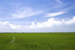 Campo de arroz Imágenes de archivo libres de regalías