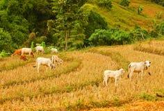 Campo de arroz Fotografía de archivo