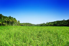 Campo de arroz Imagenes de archivo