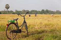 Campo de arroz Camboya Foto de archivo