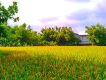 Campo de arroz cerca de la fábrica Fotografía de archivo