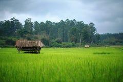 Campo de arroz cerca del bosque con el edificio del reloj Imagen de archivo