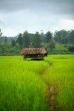 Campo de arroz cerca del bosque con el edificio del reloj Imagen de archivo libre de regalías