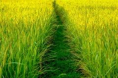 Campo de arroz con camino de la suciedad fotos de archivo