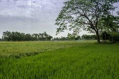 Campo de arroz con el rayo del sol fotografía de archivo libre de regalías
