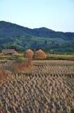 Campo de arroz cosechado foto de archivo